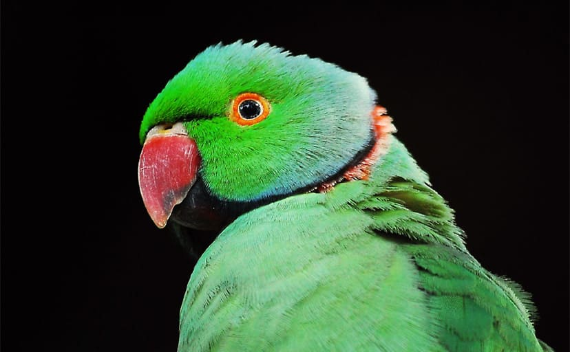 Rose-Ringed_Parakeet