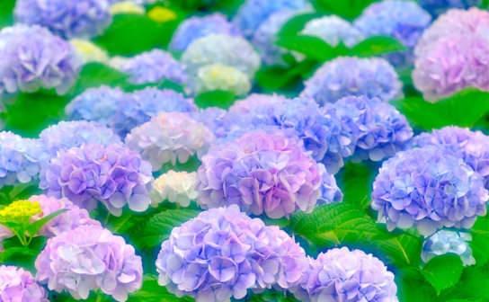 紫陽花(フリー写真)