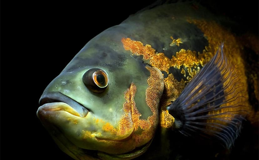 魚(フリー画像)