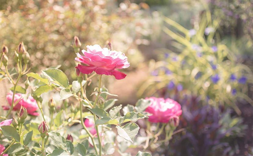 薔薇の花(フリー素材)