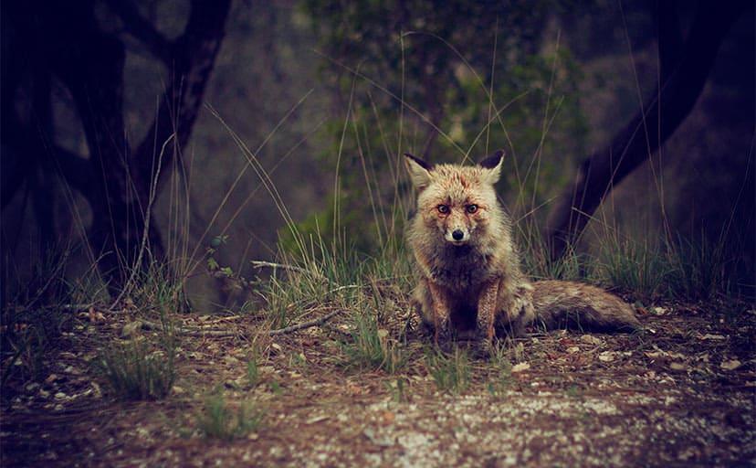 狐(フリー写真)
