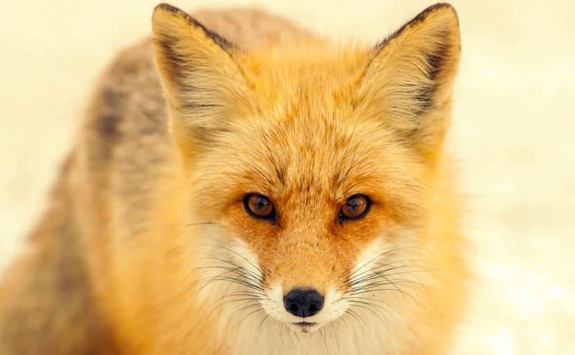 狐(フリー画像)