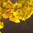 銀杏の木(フリー写真)