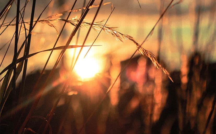 稲穂と夕日(フリー写真)