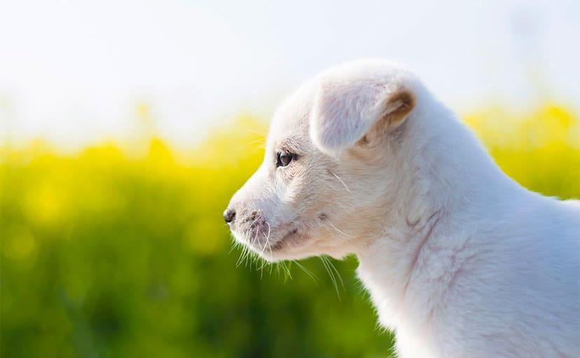 白い犬(フリー写真)