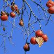 柿の木(フリー写真)