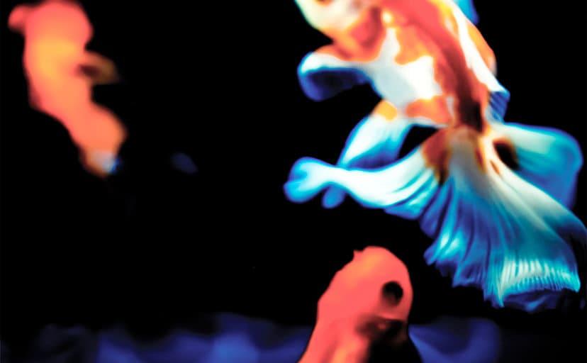 金魚(フリー写真)