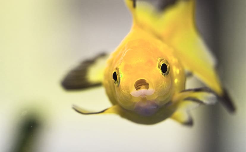 金色の金魚(フリー写真)