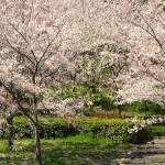 桜の木の神様