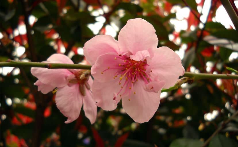 桜(フリー写真)