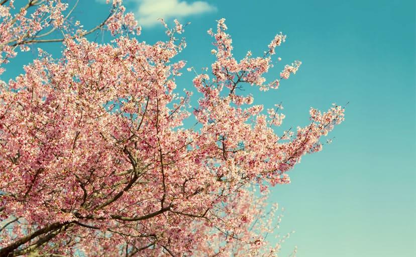 桜の木(フリー素材)