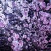 夜桜(フリー写真)