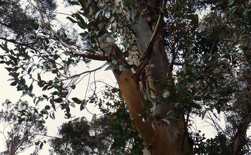 ユーカリの木(フリー写真)